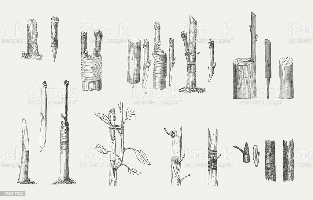 Graftings, wood engraving, wood engravings, published in 1882 vector art illustration