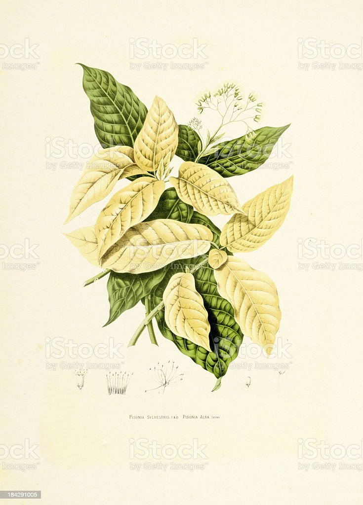 Grand devil's claws | Antique Plant Illustrations vector art illustration