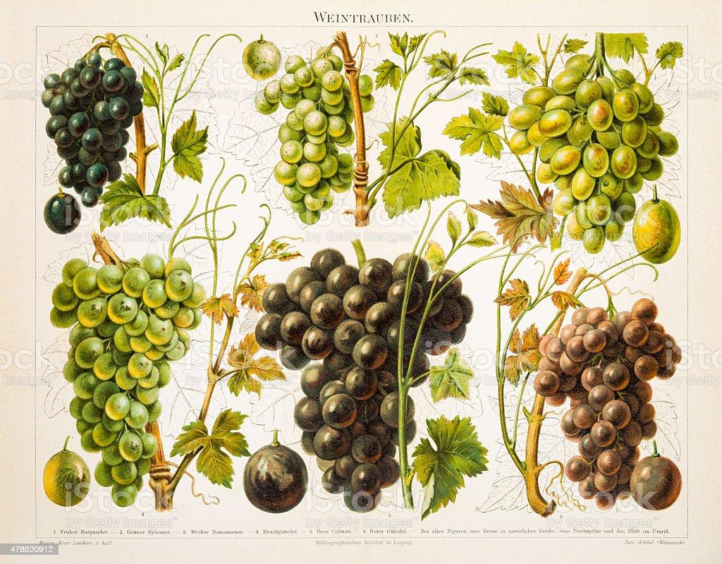 Grapes Antique Chromolithograph 1897 vector art illustration