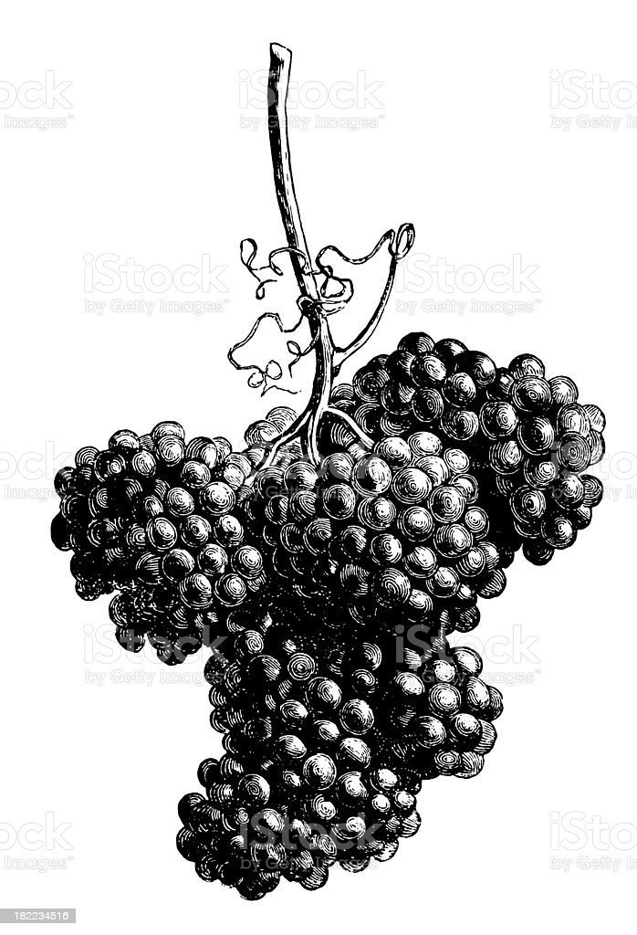 Grapes | Antique Design Illustrations vector art illustration