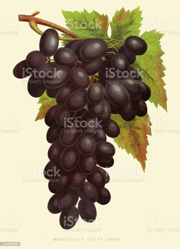 Grapes illustration 1874 vector art illustration