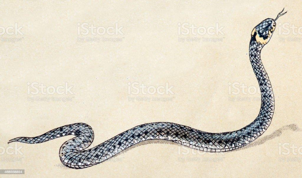 Grass snake, reptiles animals antique illustration vector art illustration