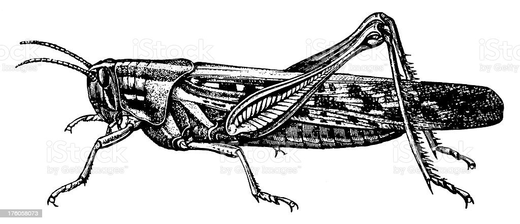 Grasshopper | Antique Animal Illustrations vector art illustration