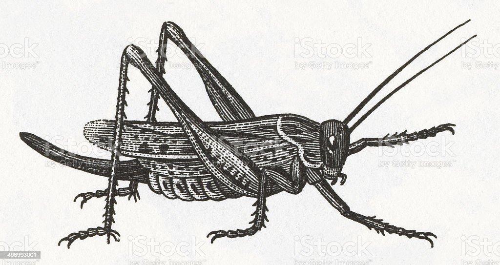 Grasshopper Engraving vector art illustration
