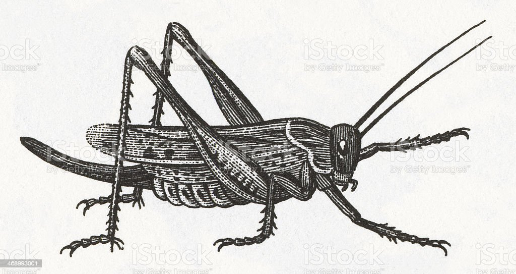 Grasshopper Engraving vector art illustration
