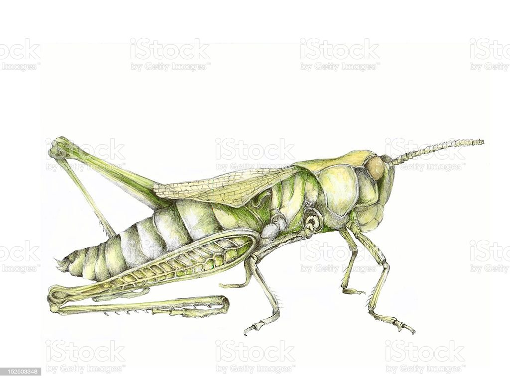 Grasshopper Illustration royalty-free stock vector art
