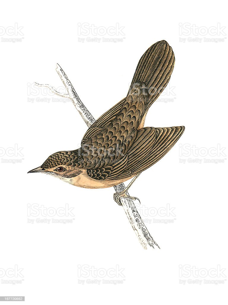 Grasshopper Warbler - Hand Coloured Engraving royalty-free stock vector art