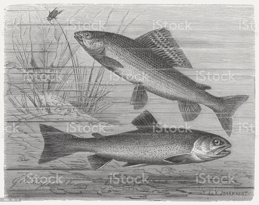 Grayling and Char vector art illustration