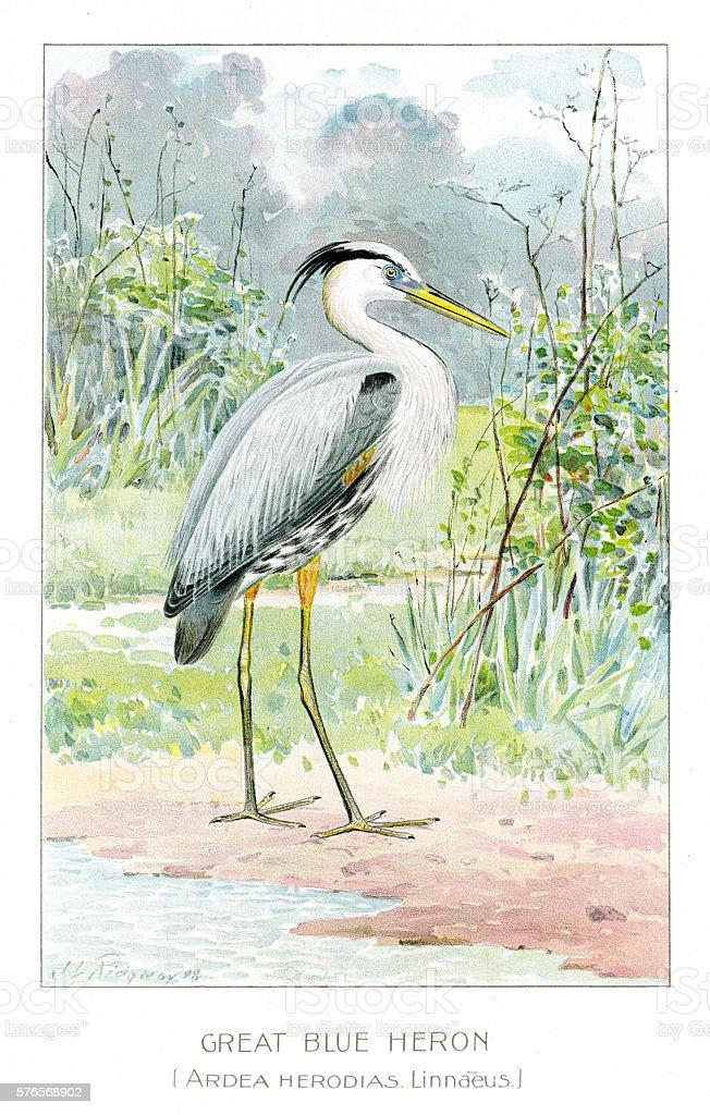 Great blue heron illustration 1897 vector art illustration