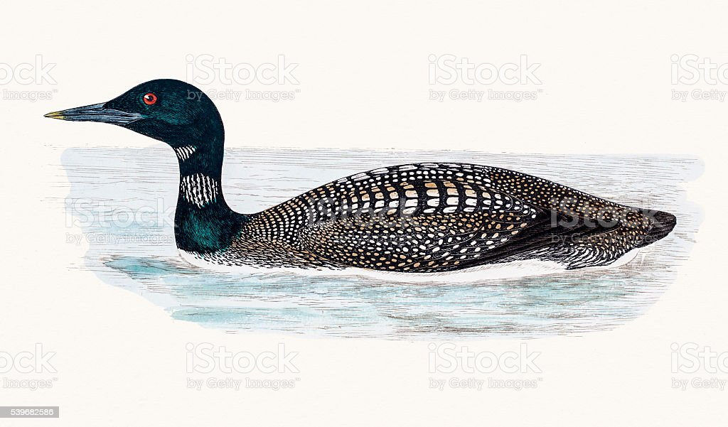 Great Northern Loon vector art illustration
