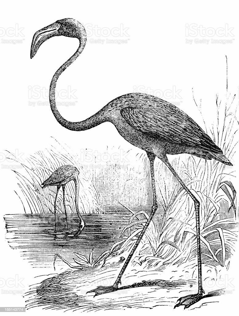 Greater Flamingo (Phoenicopterus Roseus) royalty-free stock vector art