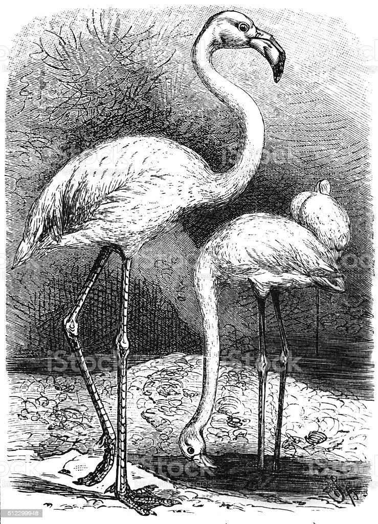 Greater Flamingo (Phoenicopterus Roseus) vector art illustration