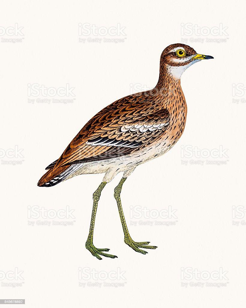 Greater sand plover vector art illustration