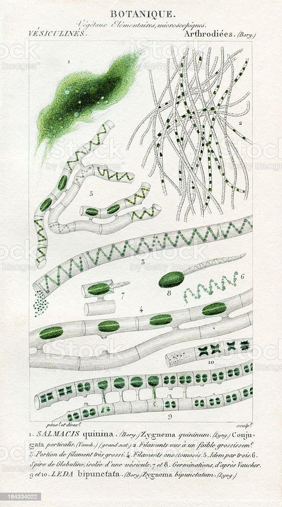 Green algae, historic Illustration, 1816 vector art illustration