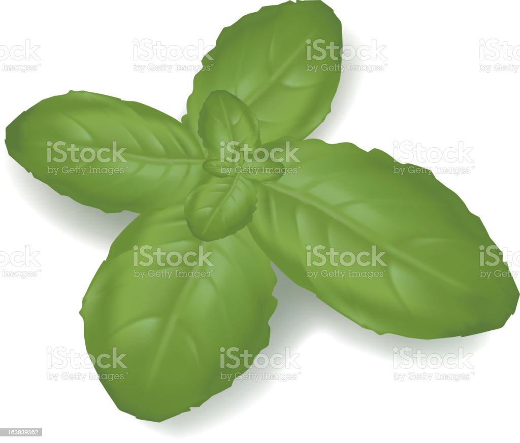 Green basil leaf. royalty-free stock vector art