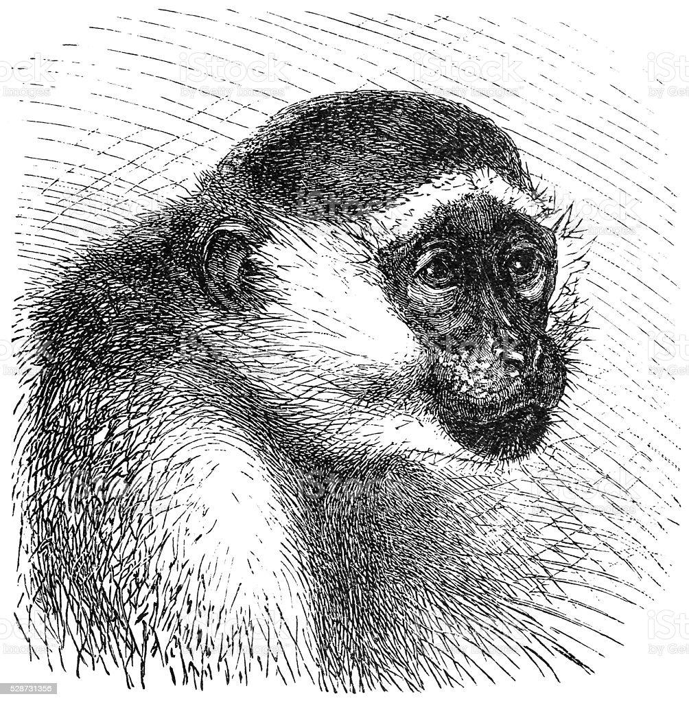 Green monkey (Cercopithecus sabaeus) vector art illustration