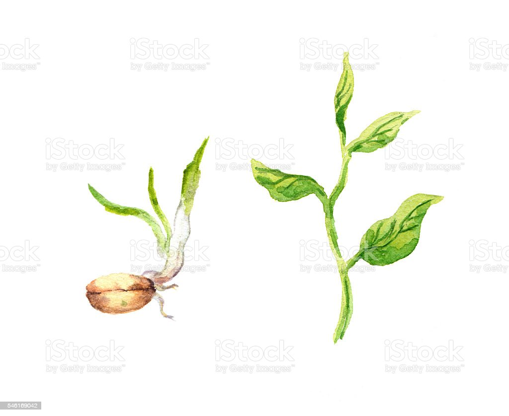 Green sprout with leaves and seed. Watercolour vector art illustration