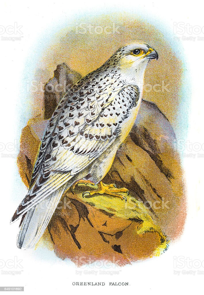 Greenland falcon engraving 1896 vector art illustration