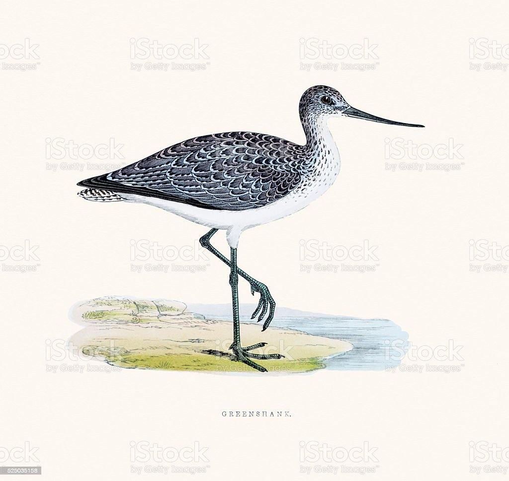 Greenshank bird 19 century illustration vector art illustration