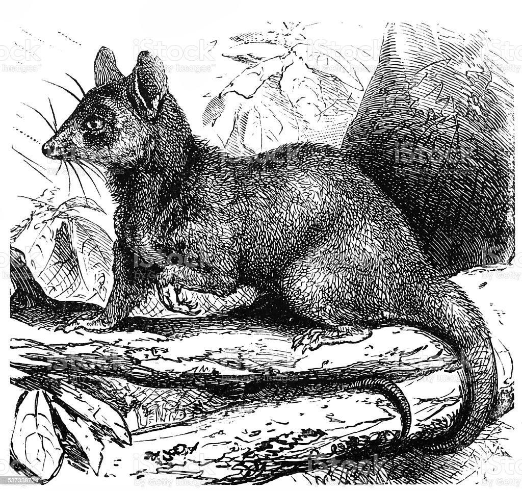 Grey opossum (Didelphys cinerea) vector art illustration