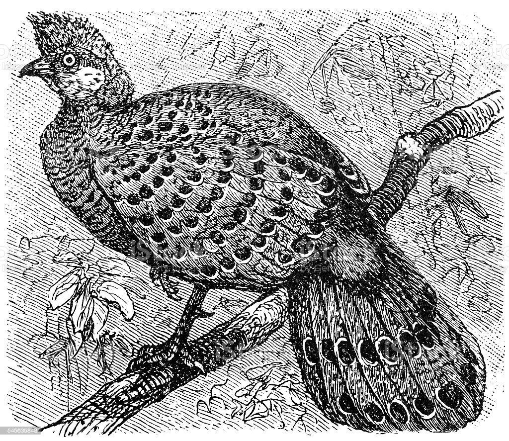 Grey Peacock-Pheasant old illustration (Polyplectron bicalcaratum) vector art illustration