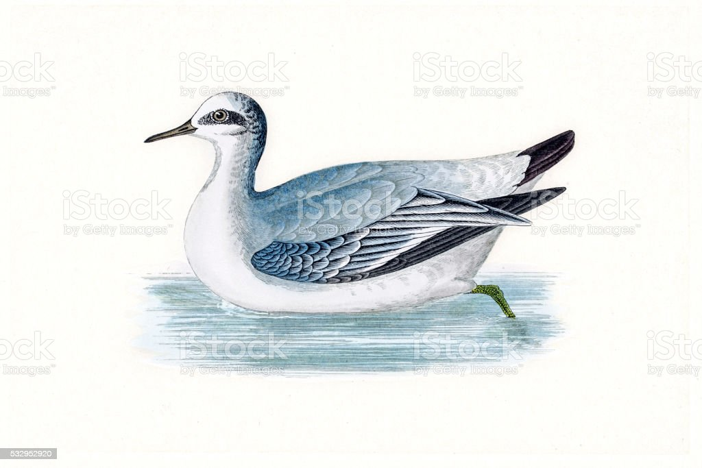 Grey phalarope migratory shorebird breeding in Arctics vector art illustration