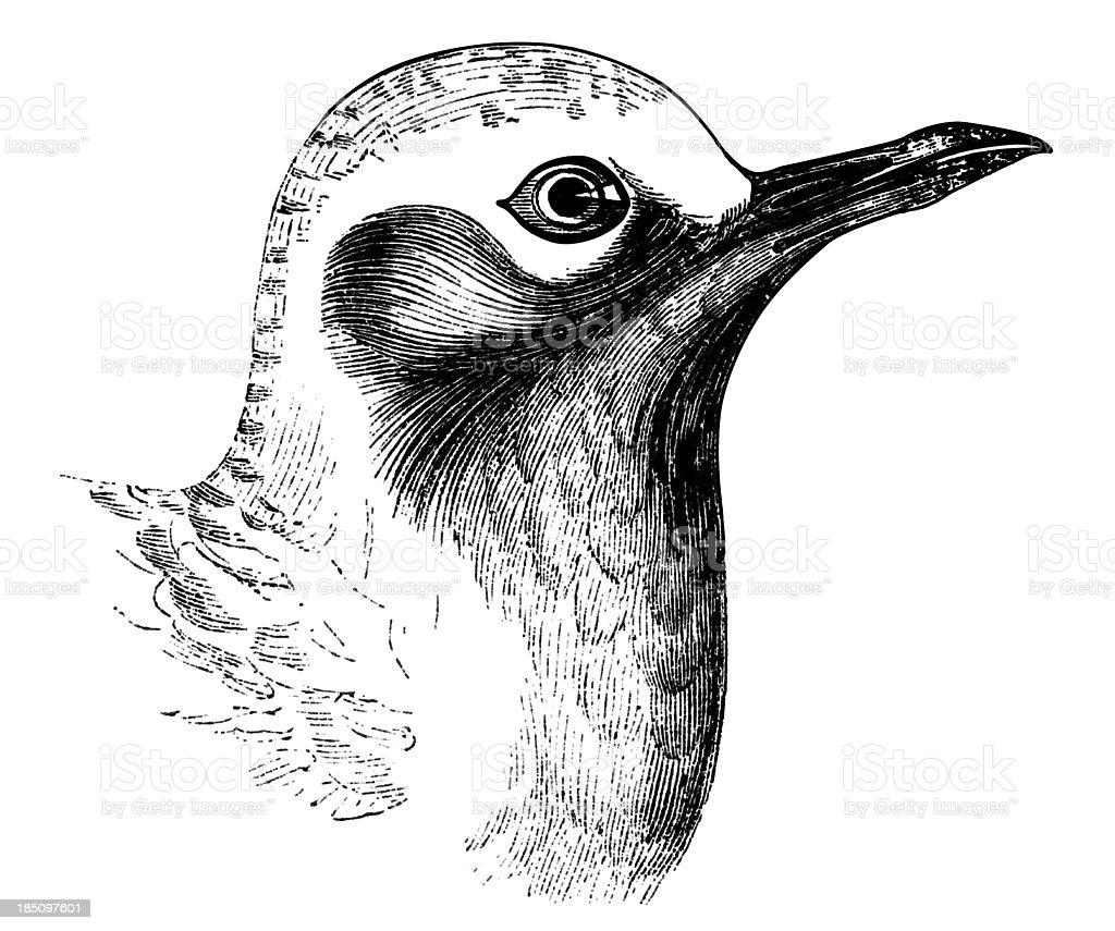 Grey Plover vector art illustration