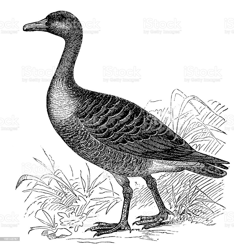 Greylag Goose (Anser Anser) royalty-free stock vector art
