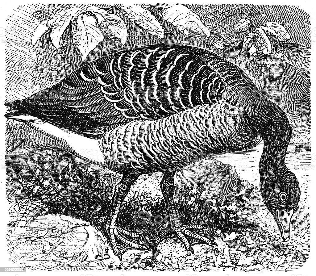Greylag Goose (Anser anser) vector art illustration