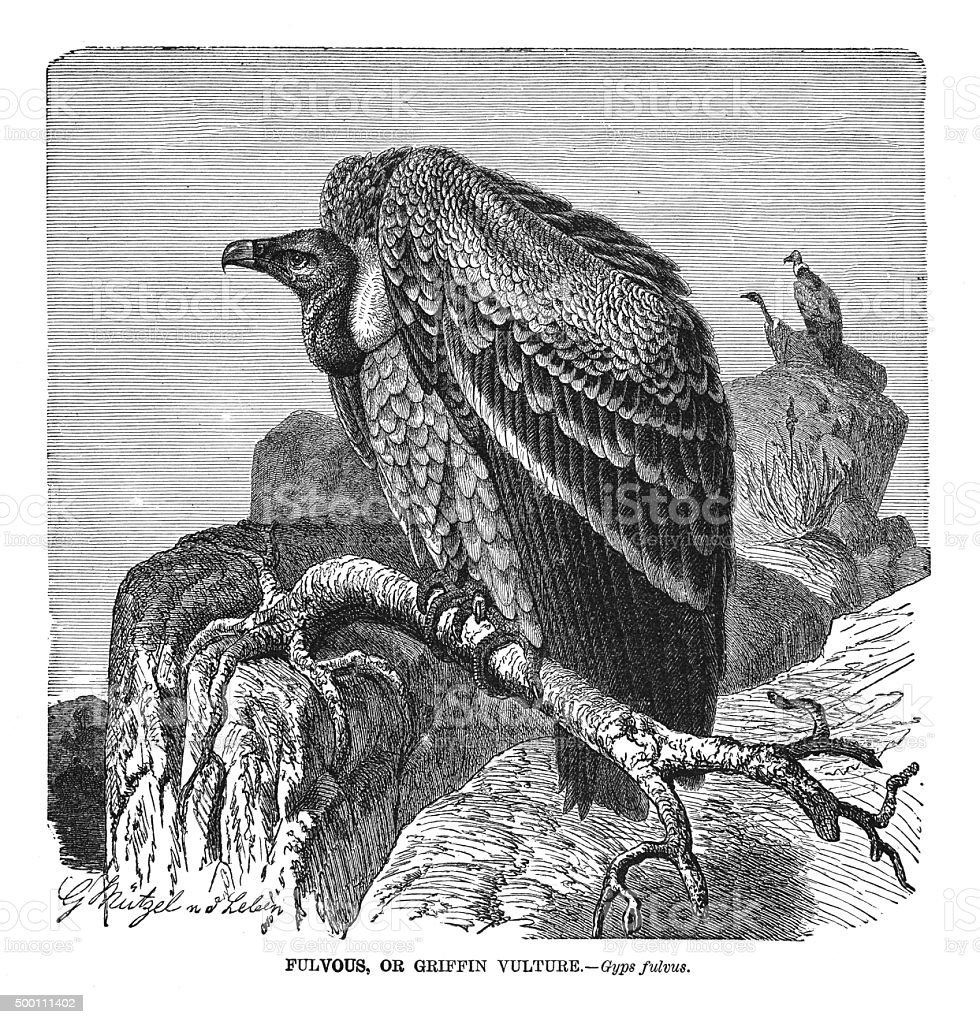 Griffin vulture vector art illustration