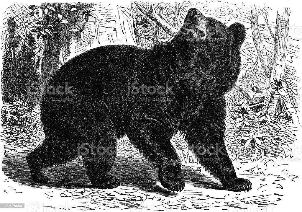 Grizzly bear vector art illustration