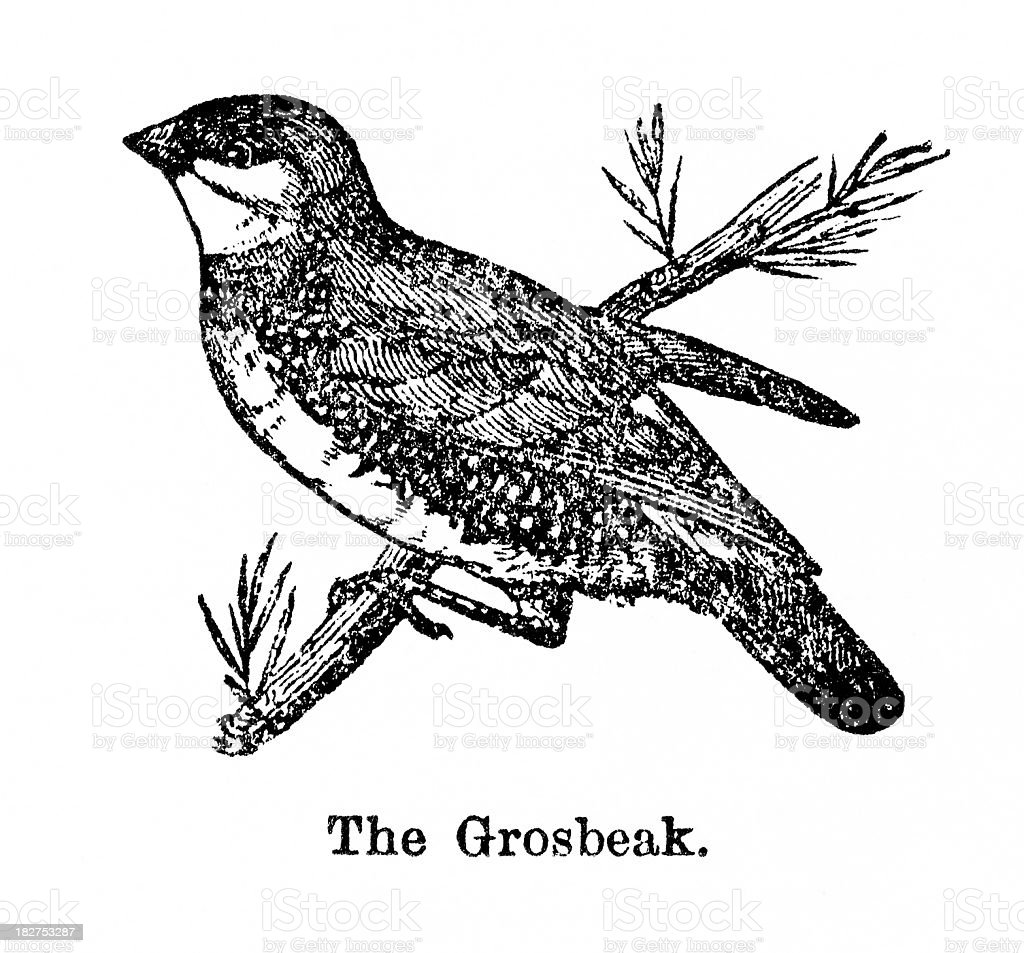 grosbeak engraving royalty-free stock vector art