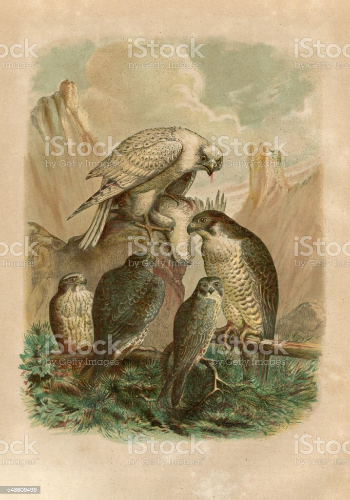 Group of falcons engraving 1880 vector art illustration