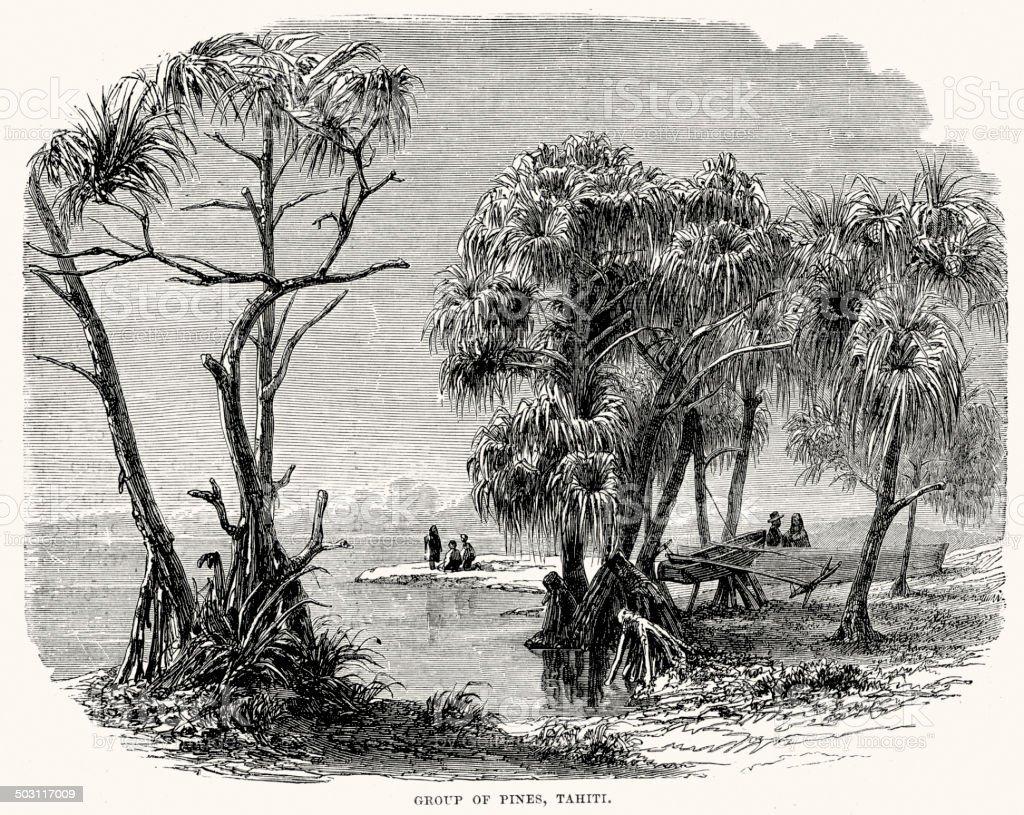 Group of Pines, Tahiti royalty-free stock vector art