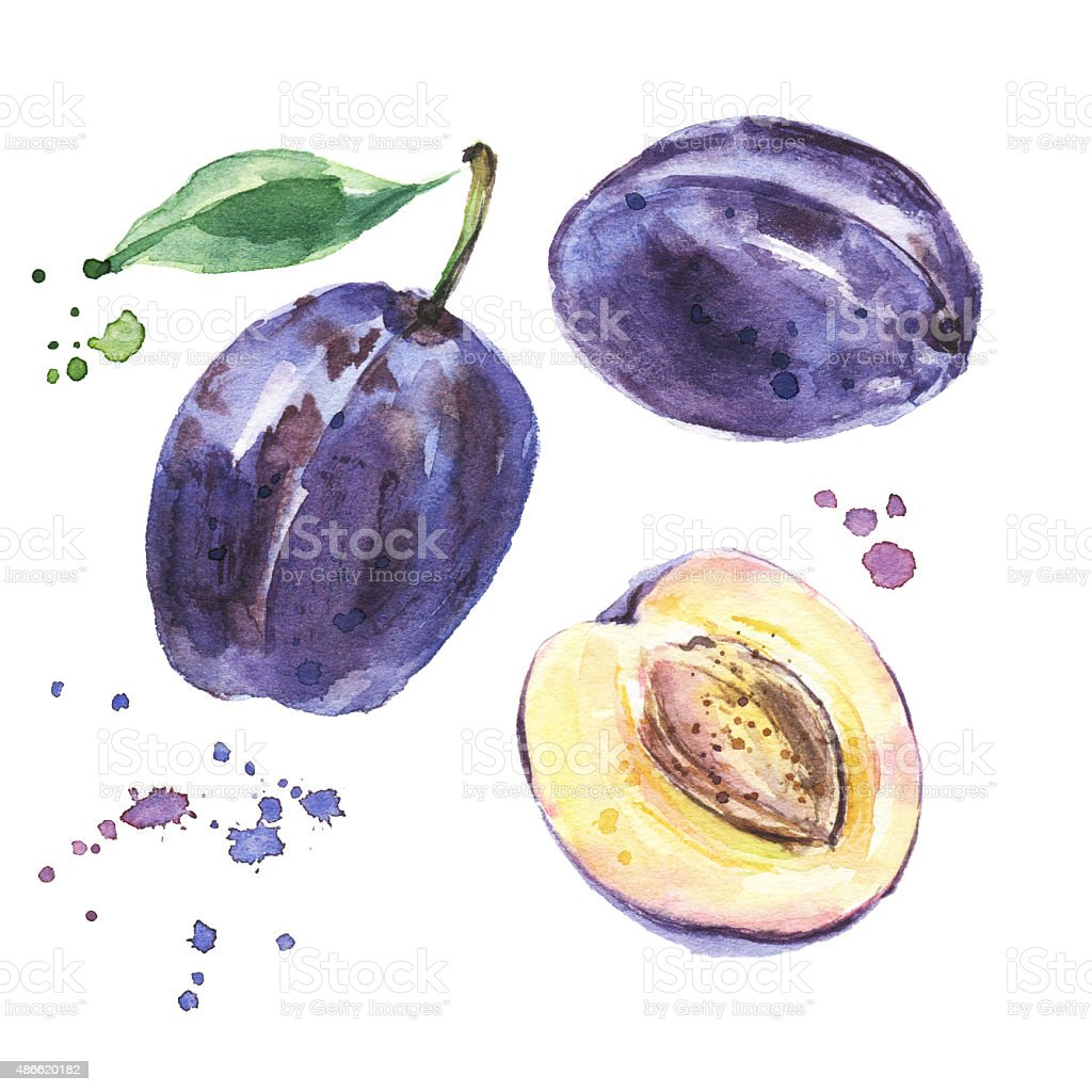 Group of plums with leaf, watercolor fruits vector art illustration