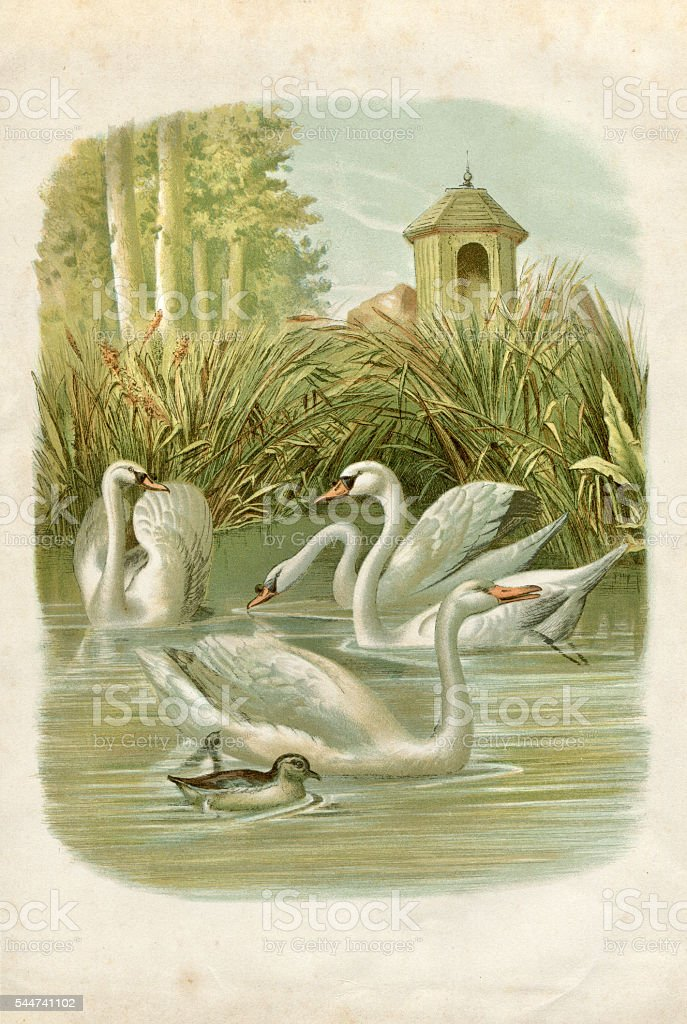 Group of swans on lake illustration 1881 stock photo