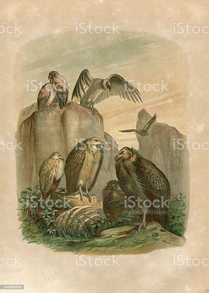 Group of vultures engraving 1880 stock photo