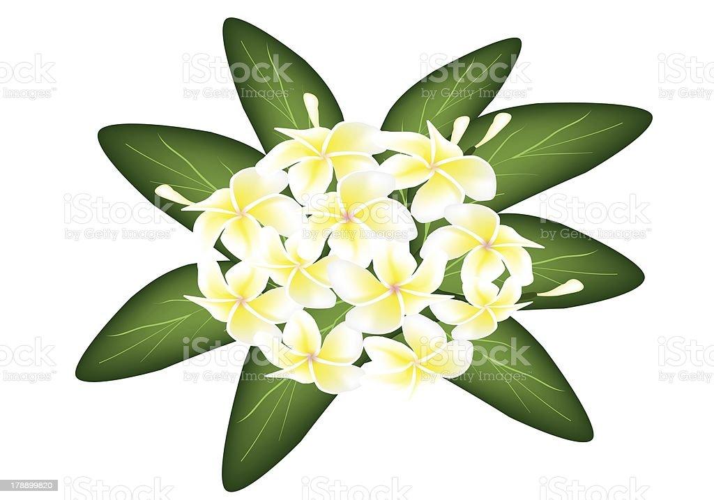 Group of White Beauty Plumeria Frangipanis royalty-free stock vector art