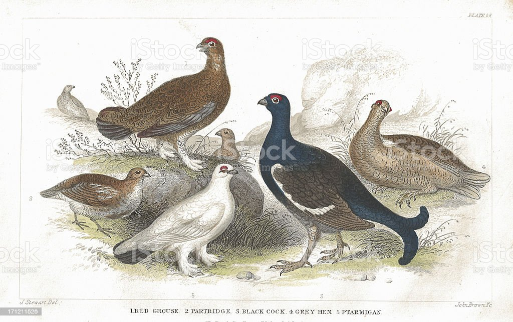 Grouse and Partridge old litho print from 1852 vector art illustration