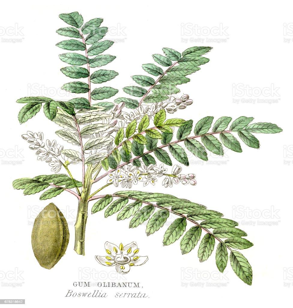 Gum olibanum botanical engraving 1857 vector art illustration