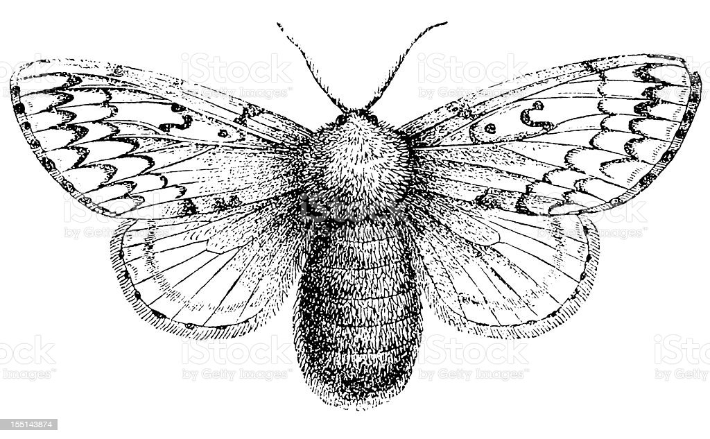Gypsy Moth (Lymantria Dispar) vector art illustration