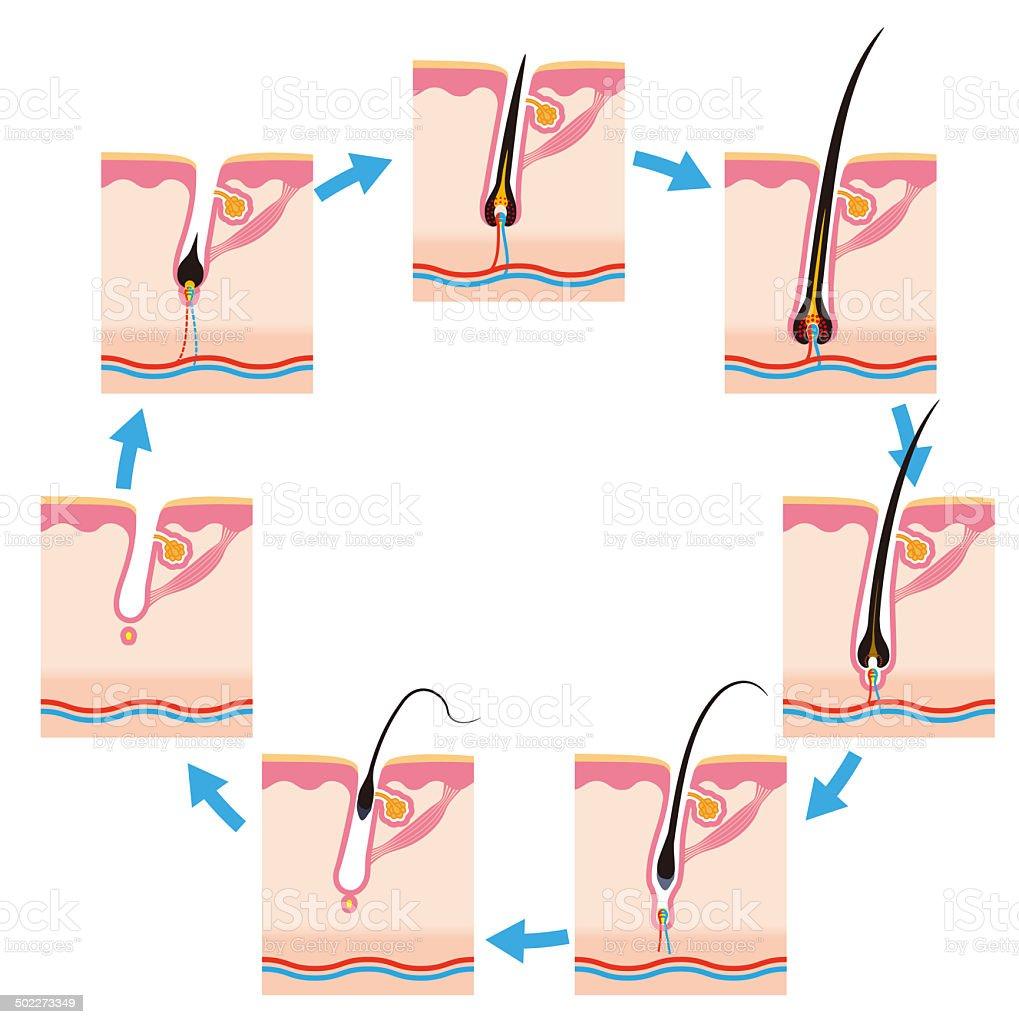 Hair cycle vector art illustration