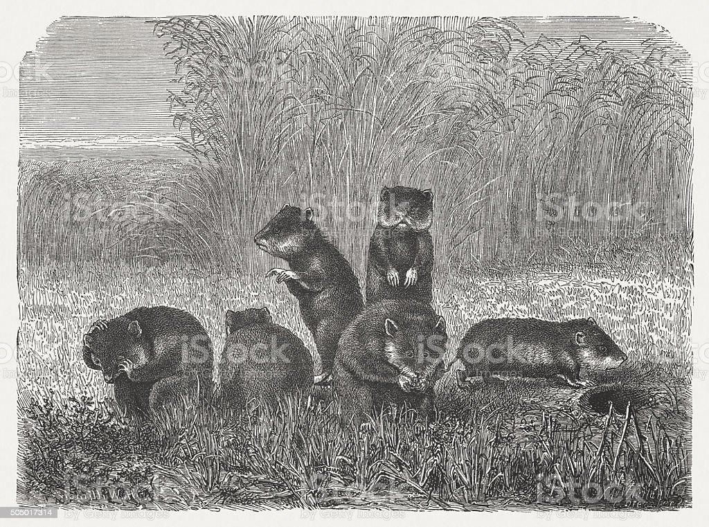 Hamster, wood engraving, published in 1873 vector art illustration