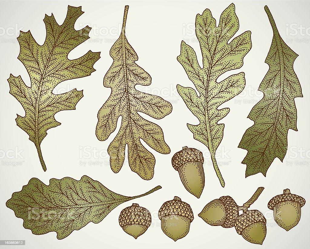 Hand drawn oak leaf and acorn vector set vector art illustration