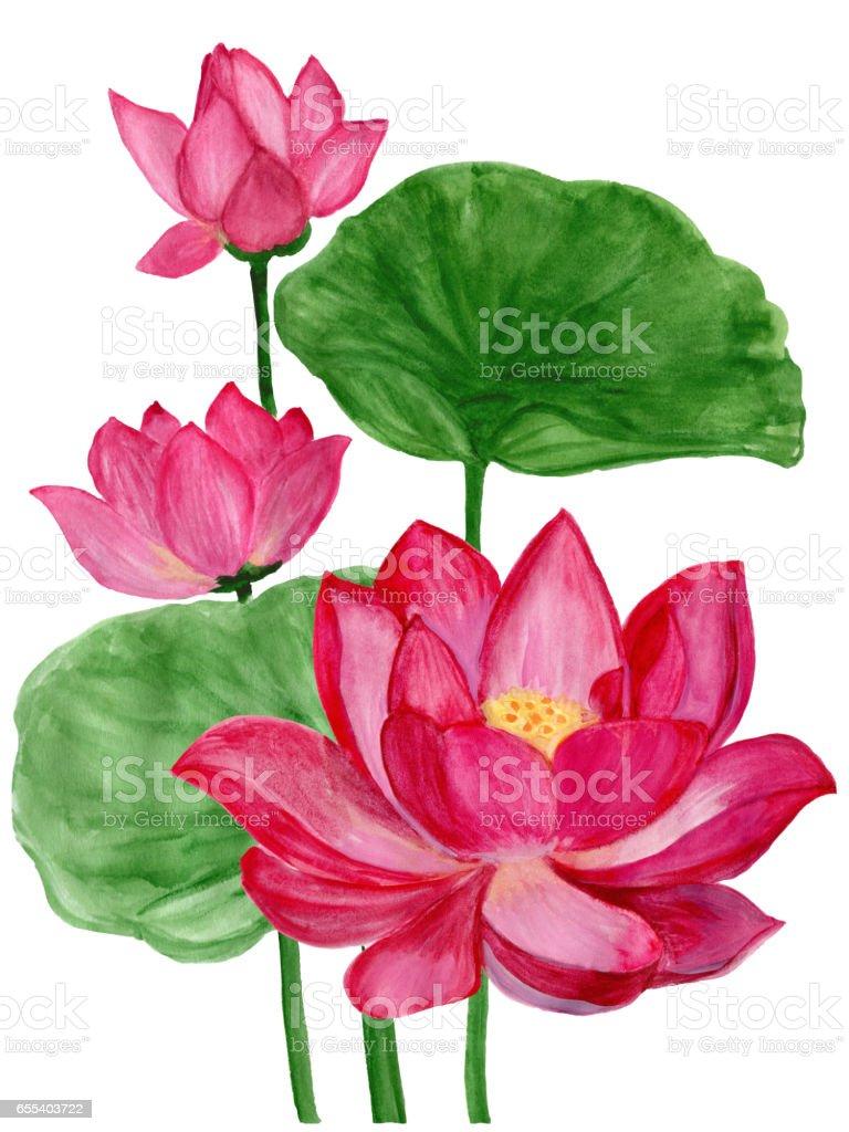 Hand drawn watercolor botanical illustration of Lotus flower pink. vector art illustration