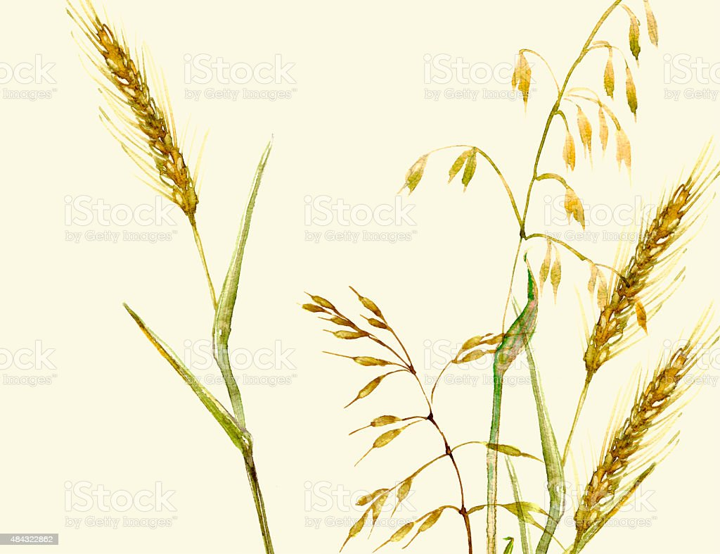 Hand drawn watercolor meadow grass background with wheat and oat vector art illustration