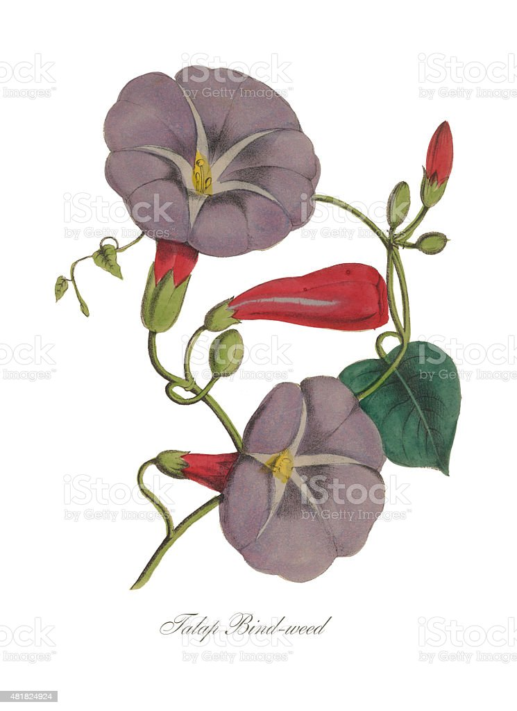 Handcolored Morning Glory, Bindweed, Victorian Botanical Illustration vector art illustration
