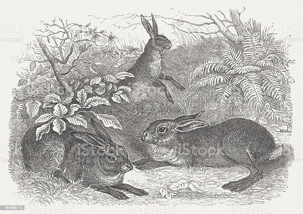 Hare (Lepus europaeus), wood engraving, published in 1875 royalty-free stock vector art
