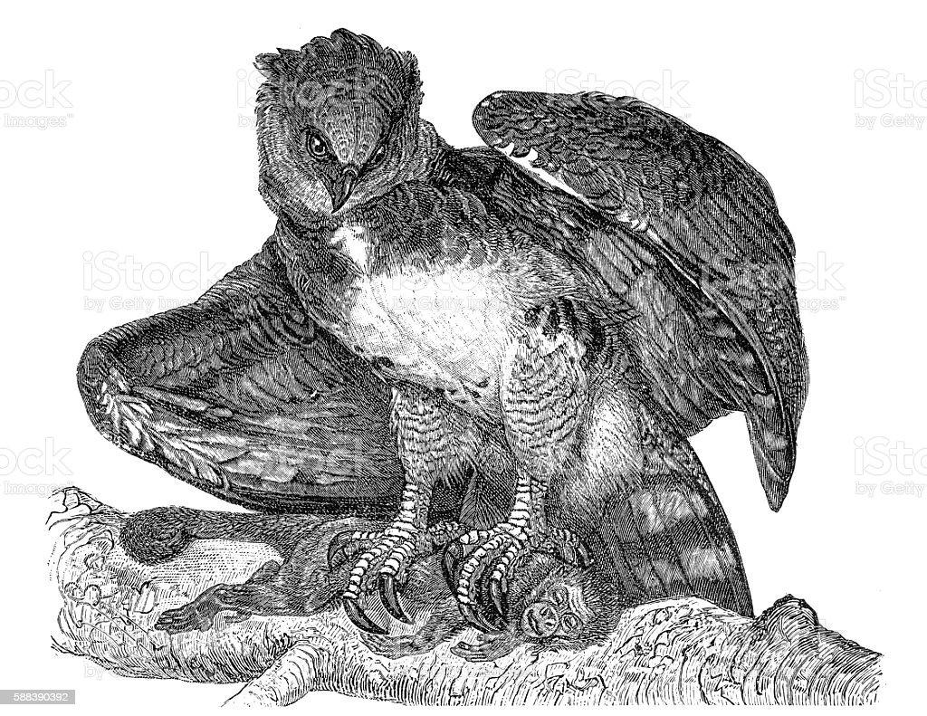 Harpy eagle (Harpia harpyja) vector art illustration