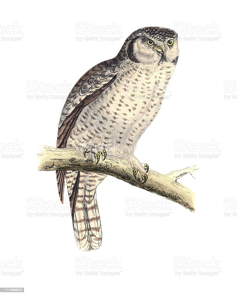 Hawk Owl - Hand Coloured Engraving vector art illustration